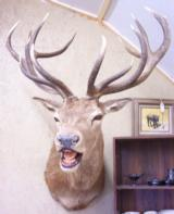 Trophy 7 X 7 Elk Mount