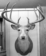 Huge Boone & Crocket Texas Whitetail Mount