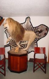 ABSOLUTELY GORGEOUS FULL MOUNT AFRICAN LION ON PEDESTAL WITH WART HOG SKULLS - 10 YEAR OLD MALE IN HIS PRIME - 11 of 11