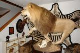 ABSOLUTELY GORGEOUS FULL MOUNT AFRICAN LION ON PEDESTAL WITH WART HOG SKULLS - 10 YEAR OLD MALE IN HIS PRIME - 3 of 11
