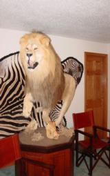 ABSOLUTELY GORGEOUS FULL MOUNT AFRICAN LION ON PEDESTAL WITH WART HOG SKULLS - 10 YEAR OLD MALE IN HIS PRIME - 2 of 11