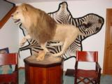 ABSOLUTELY GORGEOUS FULL MOUNT AFRICAN LION ON PEDESTAL WITH WART HOG SKULLS - 10 YEAR OLD MALE IN HIS PRIME - 1 of 11