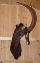 GORGEOUS AFRICAN STANDARD SABLE SHOULDER MOUNT - BY WISCONSIN HIGH QUALITY TAXIDERMIST - 1 of 1