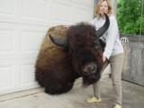 Big Woody Bison World Record Mount or Bronze
