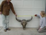 Big Woody Bison World Record Mount or Bronze- 5 of 9