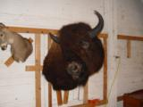 Big Woody Bison World Record Mount or Bronze- 1 of 9