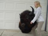 Big Woody Bison World Record Mount or Bronze- 3 of 9