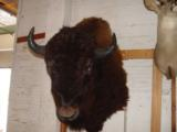 Big Woody Bison World Record Mount or Bronze- 8 of 9