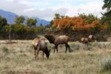 World Class Trophy Elk Hunts - 8 of 12