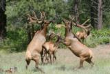 World Class Trophy Elk Hunts - 4 of 12