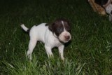 AKC German Shorthaired Pointer Pups GSP--Champion Bloodlines--ready the end of September 2018 - 13 of 18