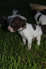 AKC German Shorthaired Pointer Pups GSP--Champion Bloodlines--ready the end of September 2018 - 11 of 18