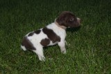 AKC German Shorthaired Pointer Pups GSP--Champion Bloodlines--ready the end of September 2018 - 6 of 18