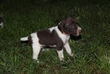 AKC German Shorthaired Pointer Pups GSP--Champion Bloodlines--ready the end of September 2018 - 17 of 18