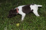 AKC German Shorthaired Pointer Pups GSP--Champion Bloodlines--ready the end of September 2018 - 12 of 18