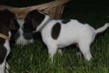 AKC German Shorthaired Pointer Pups GSP--Champion Bloodlines--ready the end of September 2018 - 15 of 18