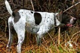 AKC German Shorthaired Pointer Pups GSP--Champion Bloodlines--ready the end of September 2018 - 2 of 18