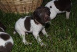 AKC German Shorthaired Pointer Pups GSP--Champion Bloodlines--ready the end of September 2018 - 10 of 18