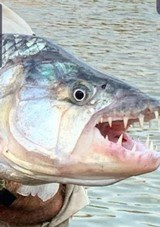 Tanzania Tigerfish and more