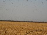 Dove Hunting in Province of Cordoba Argentina - 6 of 8