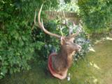 Full Trophy size Elk mount