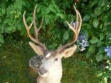 Mule deer full mount #8