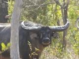 Wilderness free range Buffalo Hunt- Australia - 5 of 26