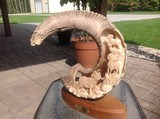carved dall sheep horn