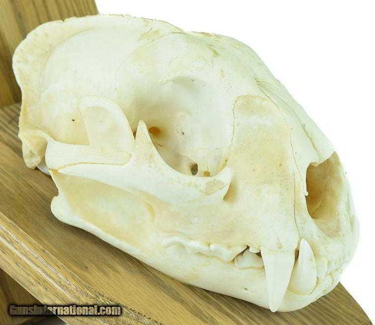 Mountain lion skull for sale