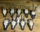 Roe deer collection of nine mounted on wall plaques