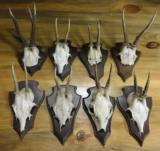 Roe deer collection of eight mounted on wall plaques.