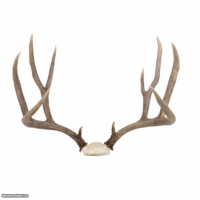 Idaho Mule Deer Rack 4x4 25 Spread