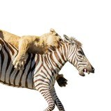 African Lion Attacking Zebra Mount - 4 of 6