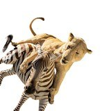 African Lion Attacking Zebra Mount - 3 of 6