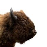 Buffalo Herd Bull - 5 of 6